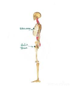 sternum to pubic bone
